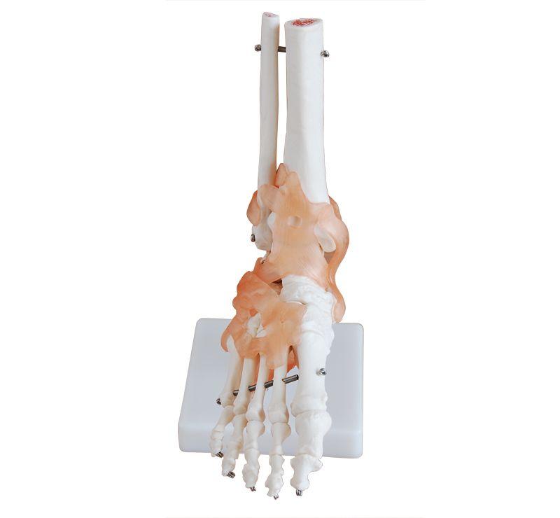 Ayak Eklemi Ligamentli Modeli