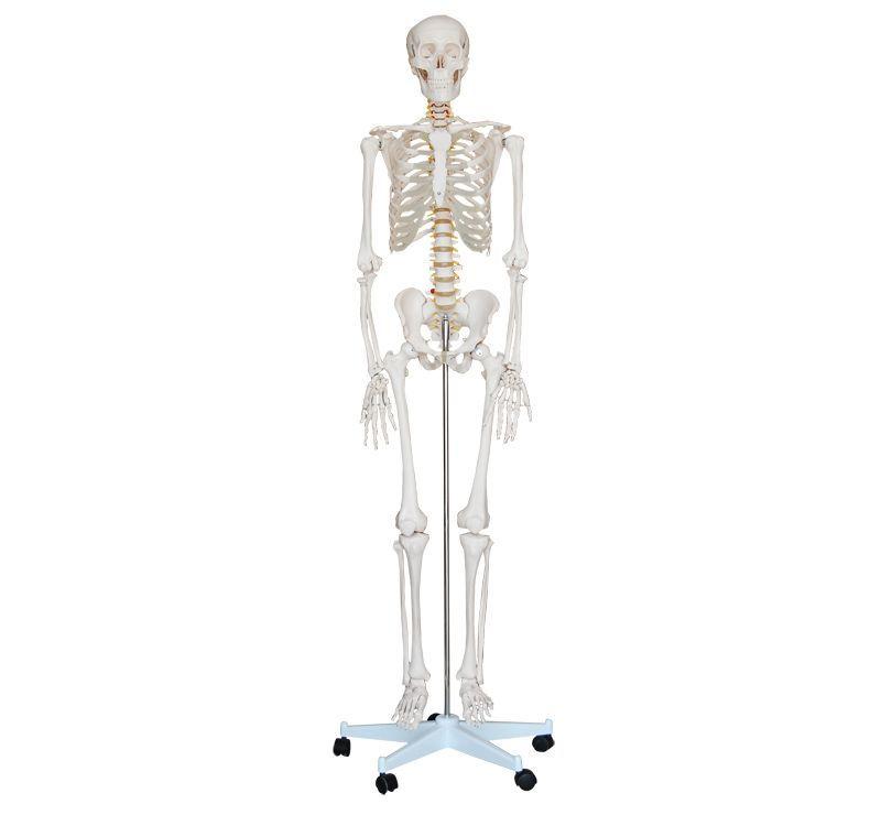 İnsan İskeleti Modeli 180 cm