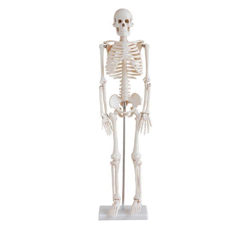 İnsan İskeleti Modeli 85 cm