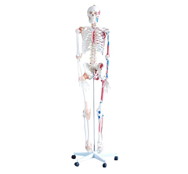 İnsan İskeleti Modeli Kaslı ve Ligamentli 180 cm